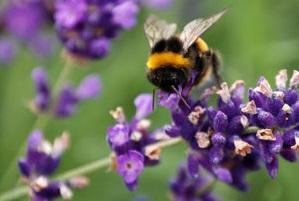 Пчелы помогают в лечении седалищного нерва