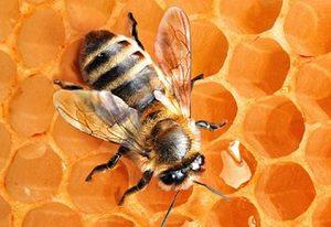 Применение пчел в медицине