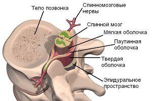 Гле находится спинной мозг
