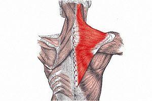 Трапециевидные мышцы спины