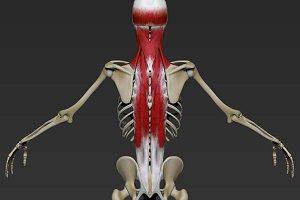 Как тренировать разгибатели спины