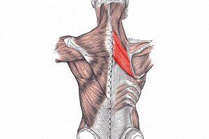 Ромбовидные мускулы