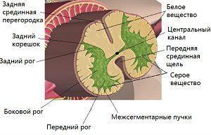 Менингеальные и белые соединительные ткани