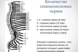 Спинномозговые нервы
